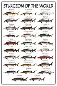 Poster Sturgeon Assorted (World, Namerica, White) (SKU 1046184611)